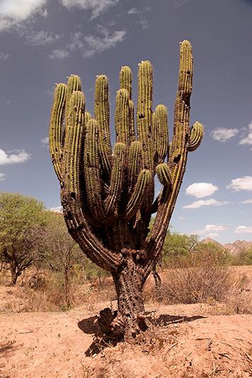 Cactus géant sur le site d'El Shinkal, Londres, Argentine - 2014