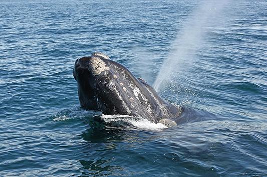 Baleine franche en train de remonter à la surface, Péninsule de Valdès, Argentine - 2014