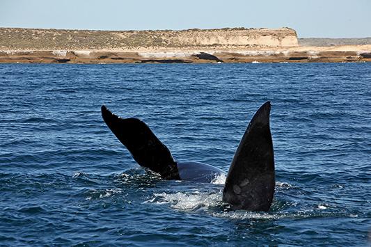Baleine franche en train de s'ébattre, Péninsule de Valdès, Argentine - 2014
