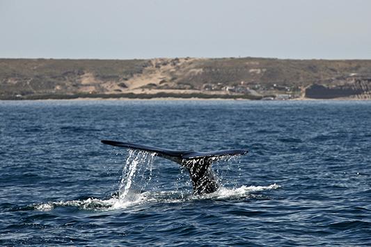 Queue de baleine franche, Péninsule de Valdès, Argentine - 2014