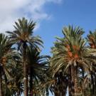 Palmiers couverts de dattes, Gabès - Tunisie 2012