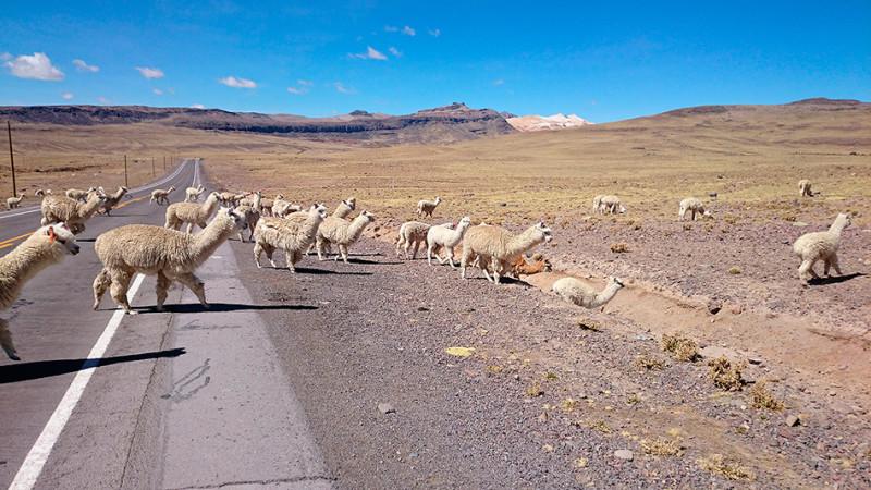 Troupeau d'Alpagas sur l'altiplano, Pérou - 2014