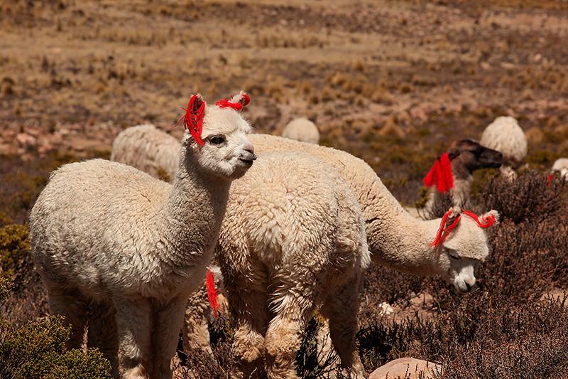 Alpagas en train de paître - Pérou - 2014