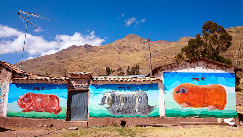 Elevage de Cuy sur l'altiplano, Pérou - 2014