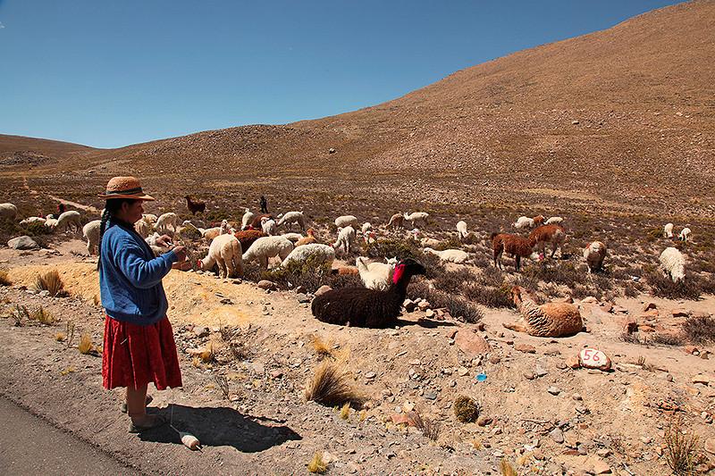 Paolina et son troupeau : lamas et alpagas - Pérou - 2014