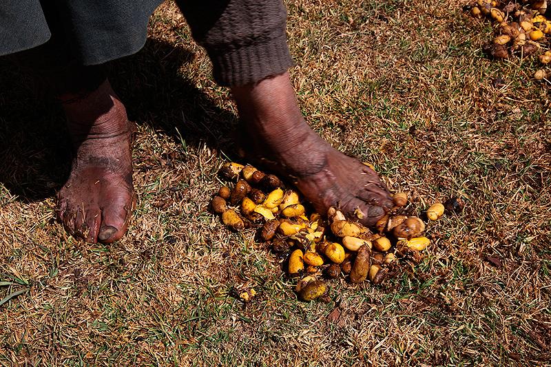 Piétiner les patates pour les peler, Pérou - 2014