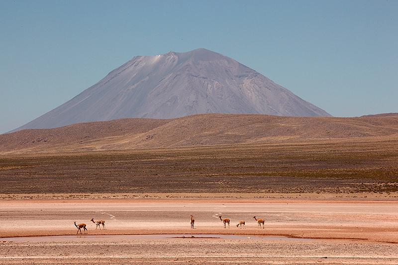 Vigognes devant le volcan Misti - Pérou - 2014