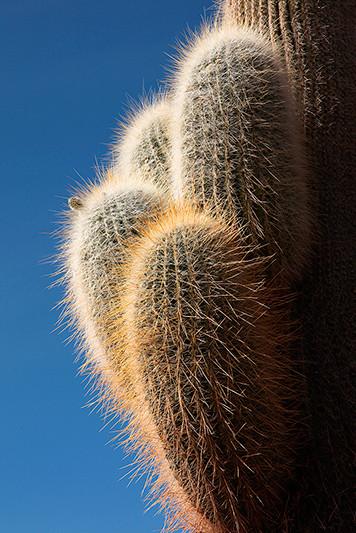 Cactus, Isla Incahuasi, salar d'Uyuni, Bolivie - 2014