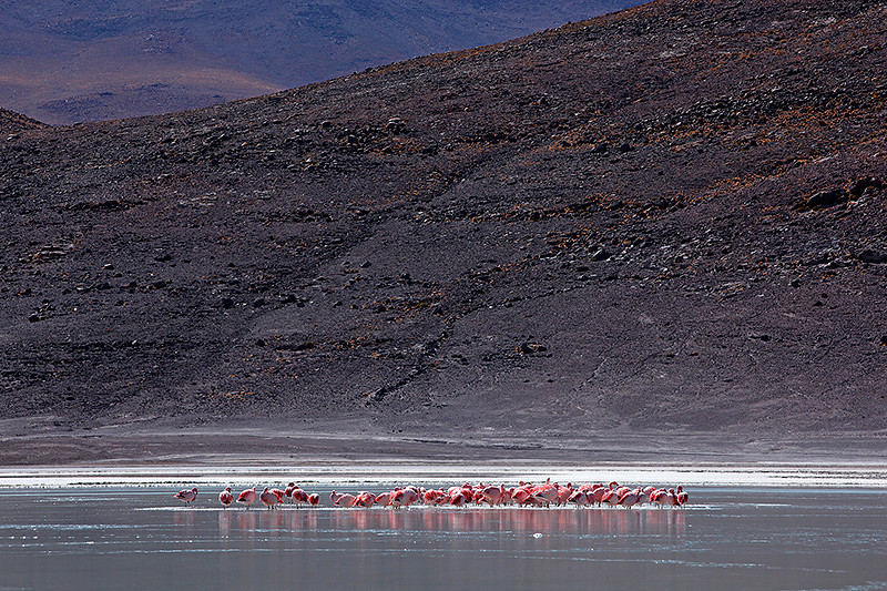 Flamands roses dans le froid, laguna Honda, Sud Lipez, Bolivie - 2014