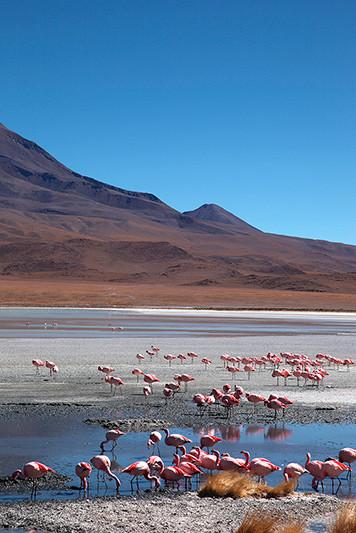 Les flamands roses de la laguna Hedondia, Sud Lipez, Bolivie - 2014