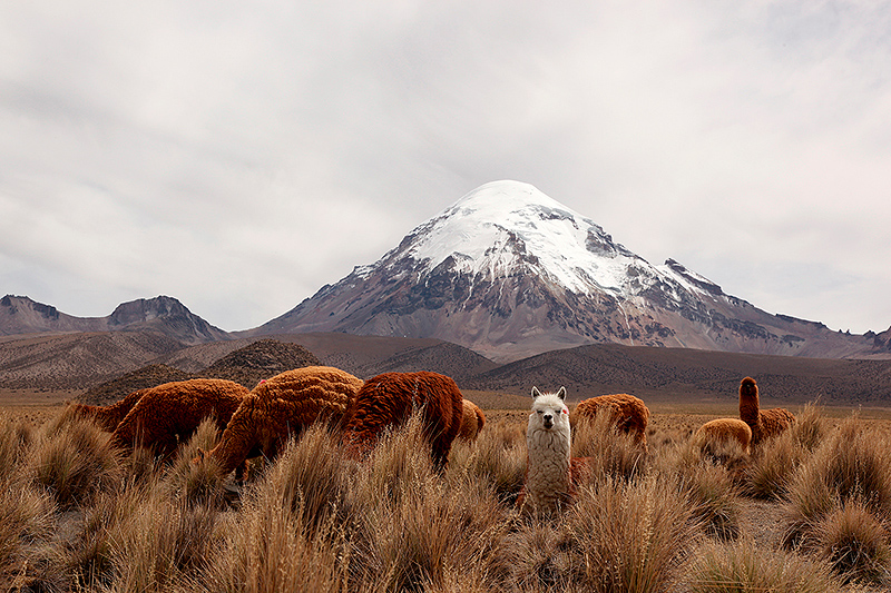 Alpacas devant le volcan Sajama, Bolivie - 2014