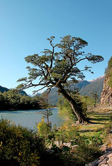 Un arbre sur la Carretera Austral, Chili - 2014