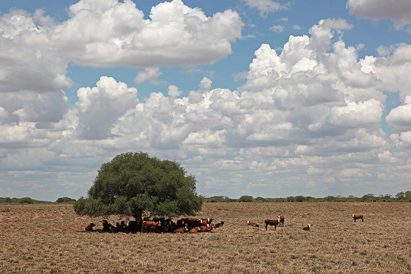 L'arbre à vaches, sur la route de Corrientes, Argentine - 2014