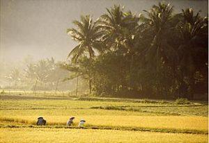 Travail dans les rizières au petit matin, Vietnam